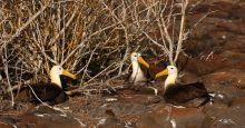 albatross Galapagos