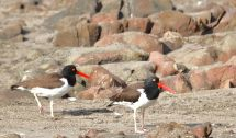 american oyster catcher chile coast