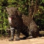 Jaguar Pantanal Brazil