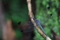 Dragon-fly Suriname