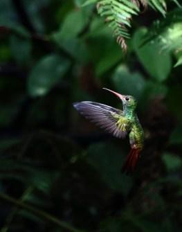 mindo hummingbird