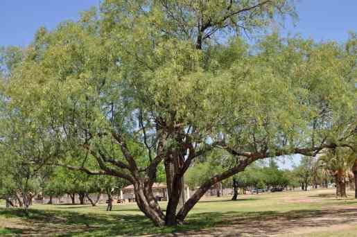 tree at Gene C Reid Park