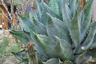Arizona-Sonora Desert Museum summer plants