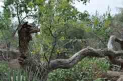 Interesting Tree at Arizona-Sonora Desert Museum