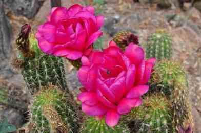 cacti in bloom at Arizona-Sonora Desert Museum