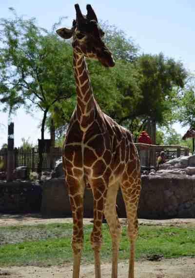 giraffe Reid Park Zoo