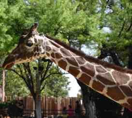 giraffe side profile Reid Park Zoo