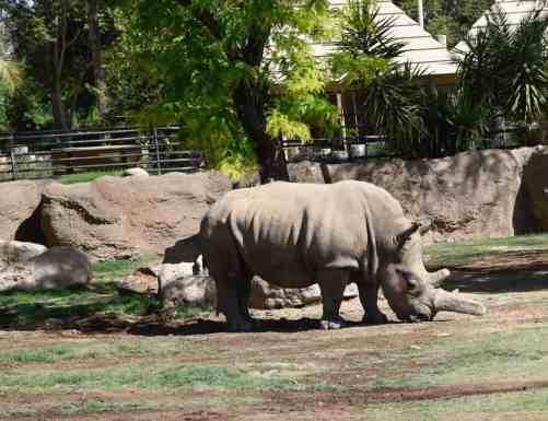 rhinoceros Reid Park Zoo