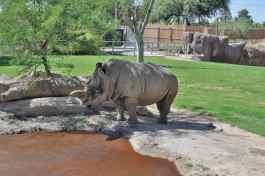 rhinoceros-at-Reid-Park-Zoo