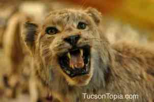 bobcat at International Wildlife Museum