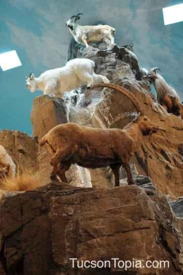 mountain goats at International Wildlife Museum