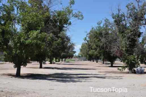 pecan grove at Fort Lowell Park