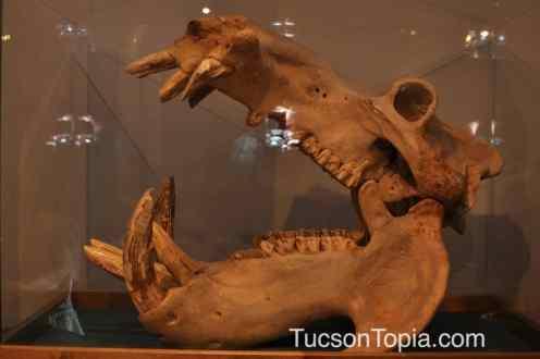 skull at International Wildlife Museum