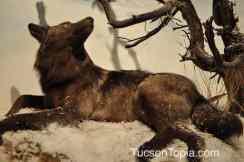 wolf at International Wildlife Museum