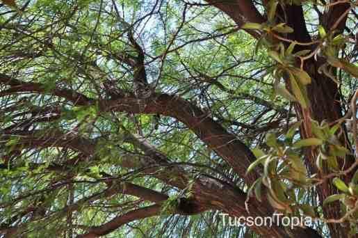 branches at Tohono Chul Park