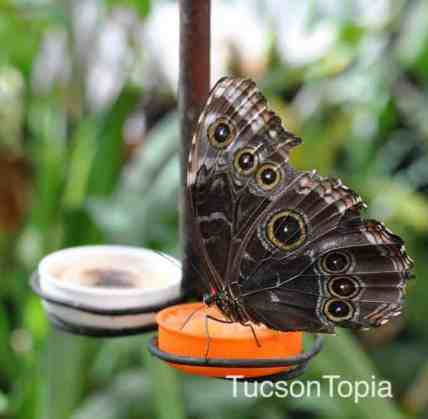 bitterfly-at-Tucson-Botanical-Gardens