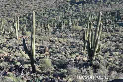 Saguaros on Tumamoc Hill