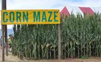Corn Maze at Apple Annie's