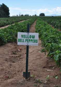 bell peppers at Apple Annie's