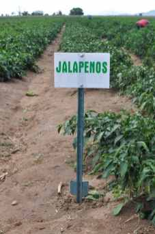 jalapenos at Apple Annie's