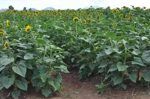 miles of sunflowers at Apple Annie's