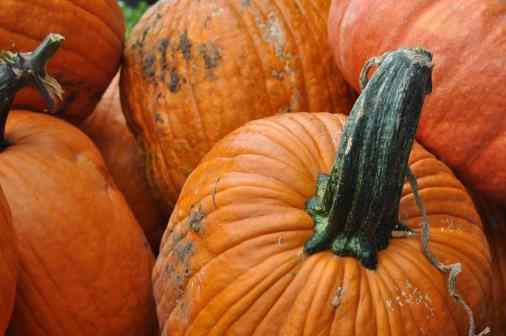 pumpkins with gnarled stems at Apple Annie's