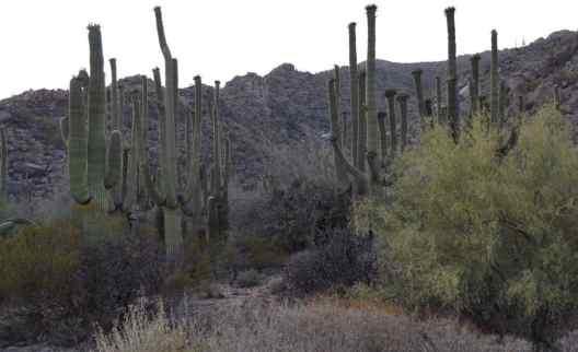 saguaros of Tucson