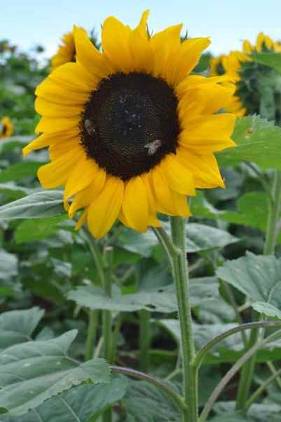 sunflower and bees at Apple Annie's
