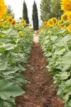 sunflowers facing toward the sun at Apple Annie's