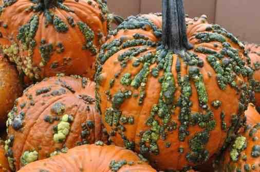 warty pumpkins at Apple Annie's