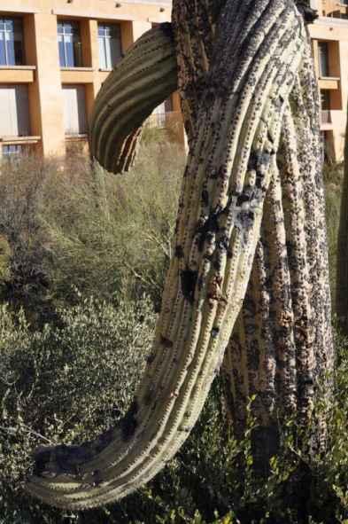 hugging saguaro at JW Marriott Tucson Starr Pass