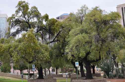 Trees in Downtown Tucson