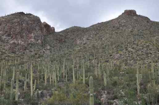 mountain of Saguaros at Pima Canyon