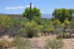 cactus and trees at Sabino Canyon