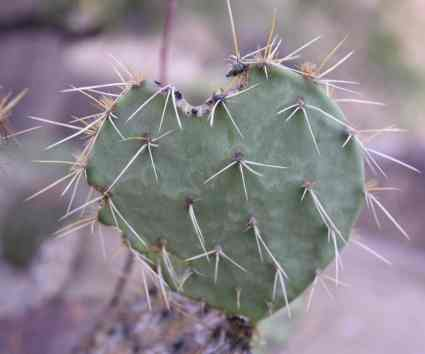 heart-shaped cactus at Loews Ventana Canyon Resort
