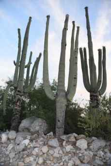 saguaros at Loews Ventana Canyon Resort