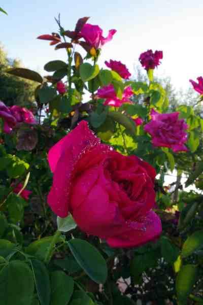 roses Reid Park