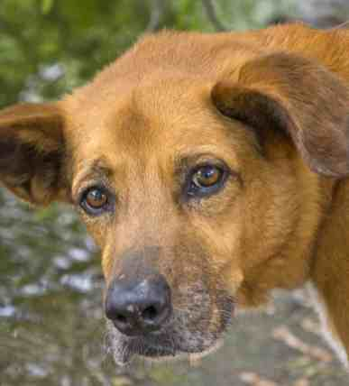 golden dog Fort Lowell Park