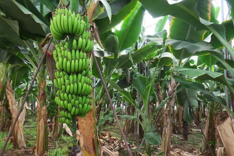 Bananenbaum mit noch grünen Bananen