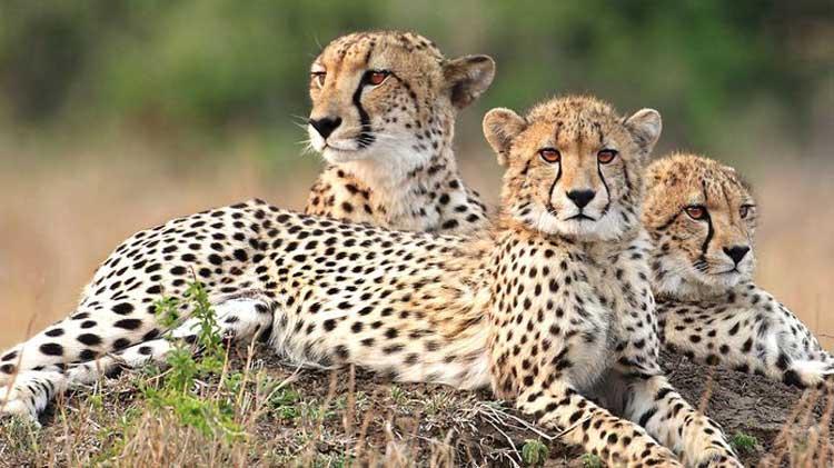 Leopardos en el parque nacional de Kruger