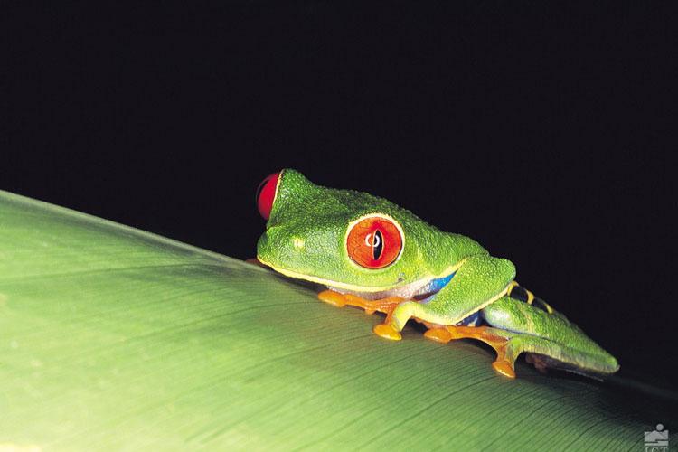 Las ranas de Costa Rica