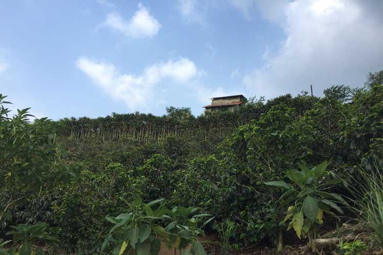 Plantación de café de San Juanillo. © Tu Gran Viaje a Costa Rica