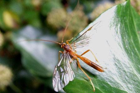 Sluipwesp. Netelia spec.Tribe Sphinctini. Onderfamilie Tryphoninae. Familie Gewone sluipwespen. Ichneumonidae.