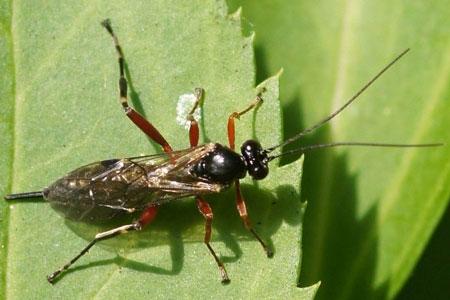 Pimpla spec.Tribe Pimplini.  Onderfamilie Pimplinae. Familie Gewone sluipwespen. Ichneumonidae.
