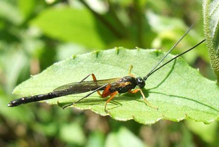 Sluipwesp. Onderfamilie Pimplinae. Familie Gewone sluipwespen. Ichneumonidae.