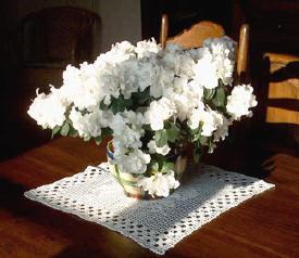 Kamerplant azalea Azalea indica