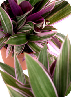 Tradescantia spathacea Sitara bontbladige sterke kamerplanten