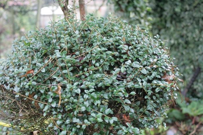 Japanse hulst  Ilex crenata Convexa  Planten online kopen