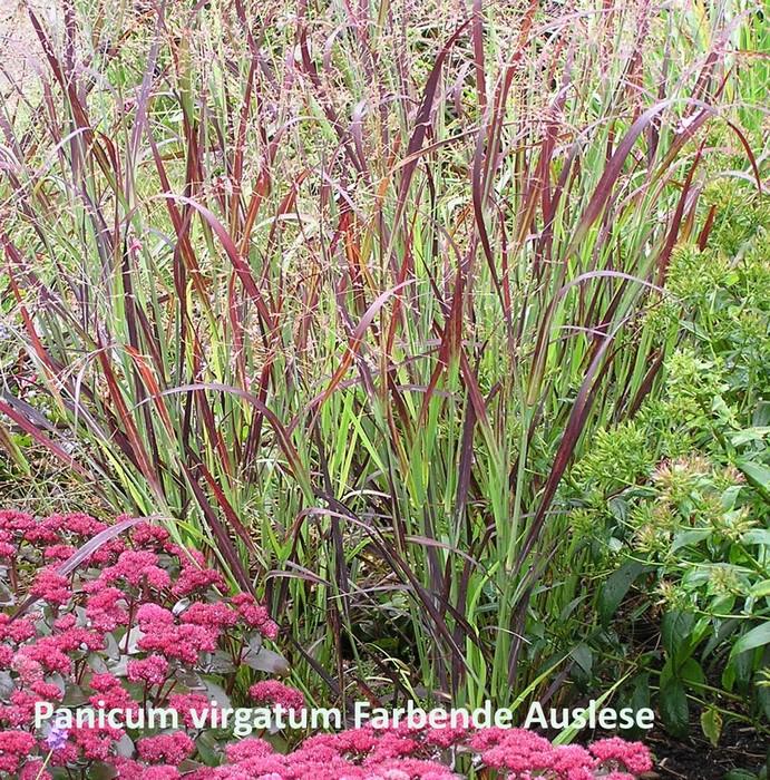 Vingergras  Panicum virgatum