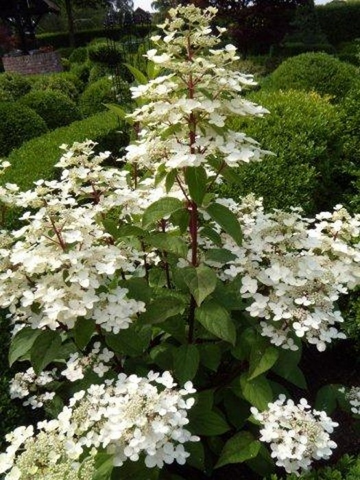 Pluimhortensia  Hydrangea paniculata Wims Red
